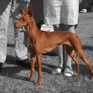 Gotland Dogshow x2